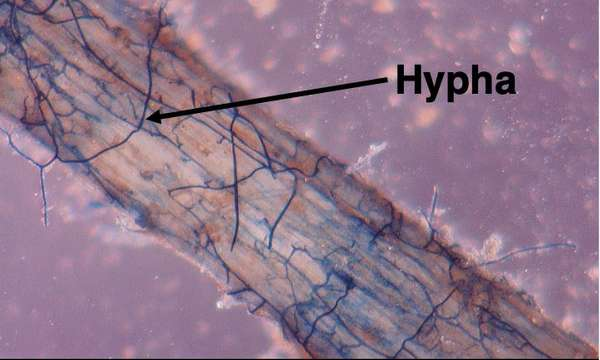 AN 43 Fungi Fig 4