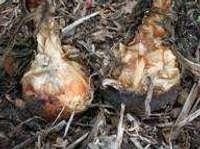 TN24 onion bulbs