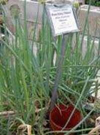 TN24 onion greens